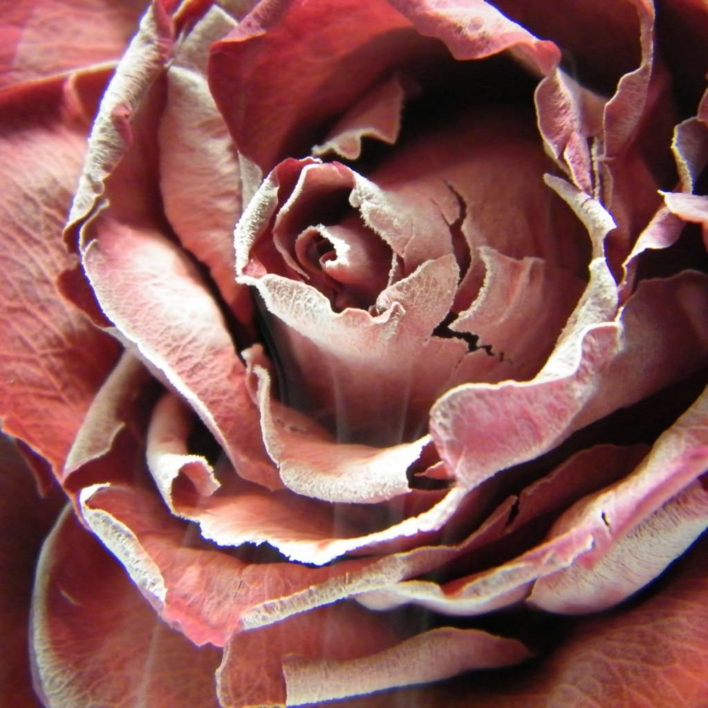CHRISTIANE MAYR   Frozen Rose  (Anna Tsuchiya)